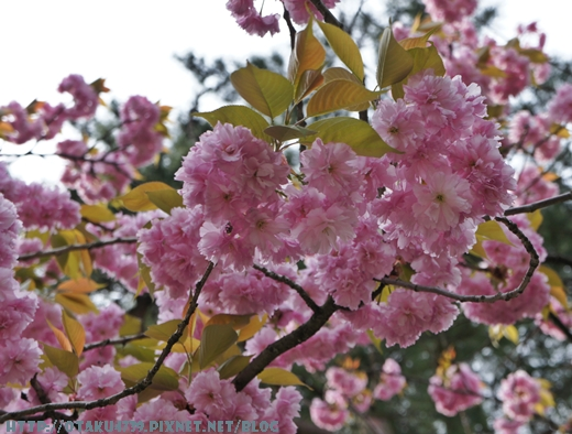 兼六園-櫻花2