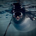 Gentoo Penguin Swimming.JPG
