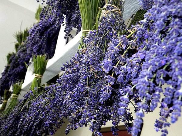 Bridestowe Lavender(Bloom6