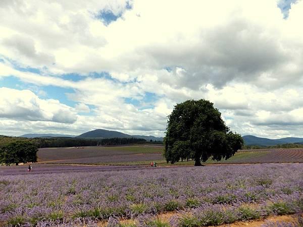 Bridestowe Lavender(tas12