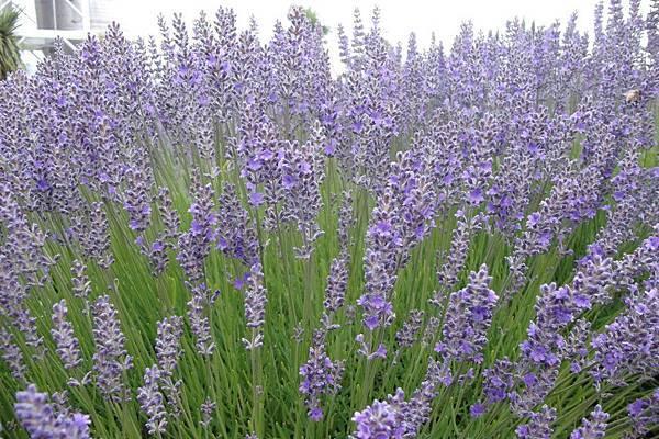 Bridestowe Lavender(tas9
