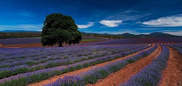 Bridestowe Lavender(tas7