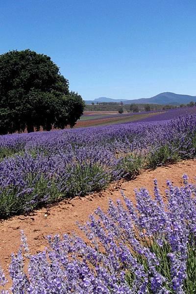 Bridestowe Lavender(tas5