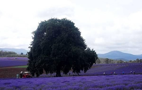 Bridestowe Lavender(tas6