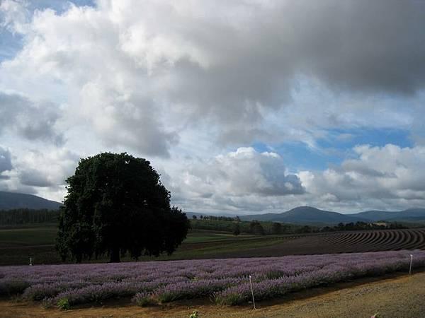Bridestowe Lavender(tas3