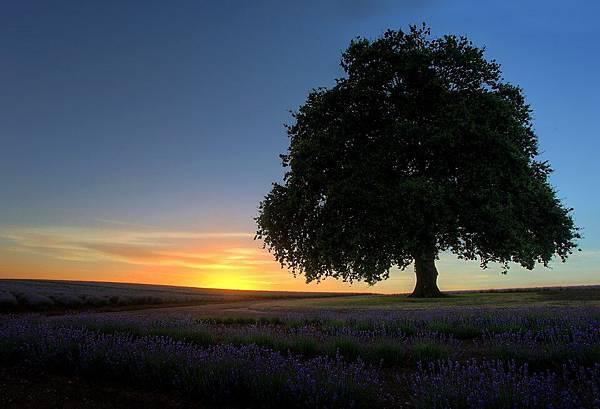Bridestowe Lavender(tas4