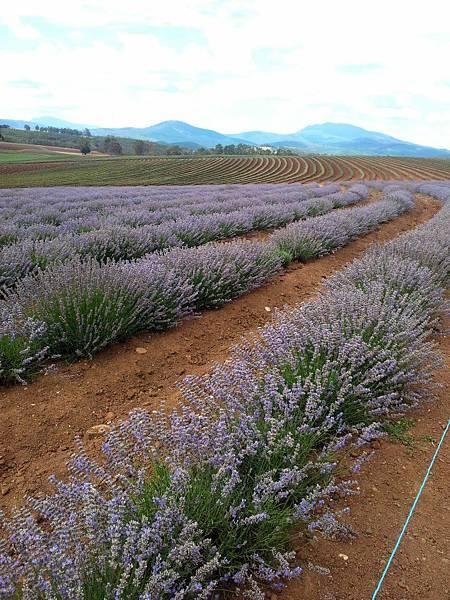 Bridestowe Lavender(tas2