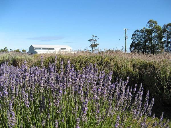 Lavender House1(Rowella4