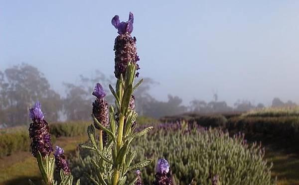 Lavender House1(Rowella2