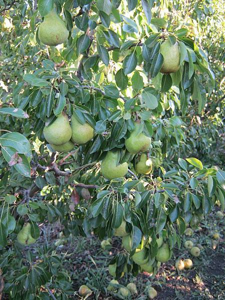 Sorell fruit farm(european pears