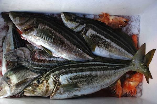Tasmania Stripey fish