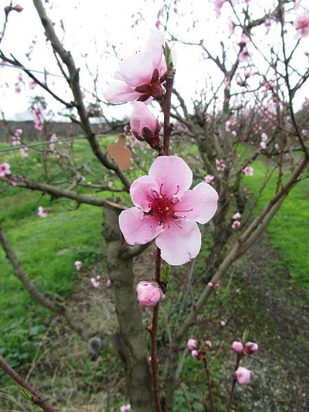 Sorell fruit farm(Peaches Dec flower