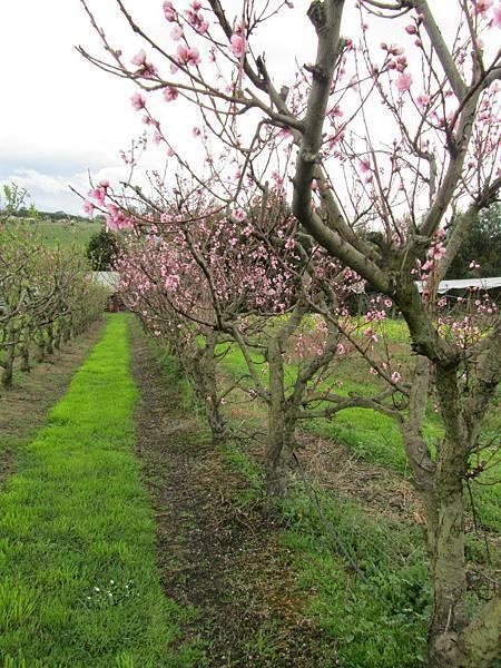 Sorell fruit farm(Peaches Dec flower2