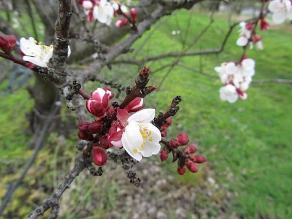 Sorell fruit farm(Apricots Jan flower2