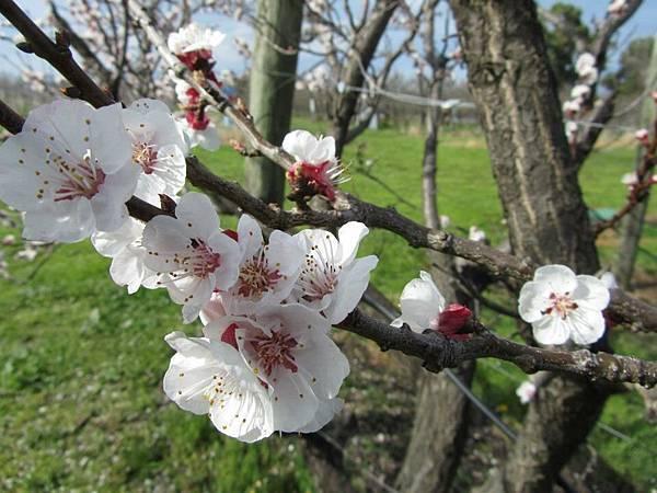 Sorell fruit farm(Apricots Jan flower