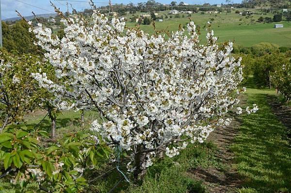 Sorell fruit farm(cherry trees2 koridia