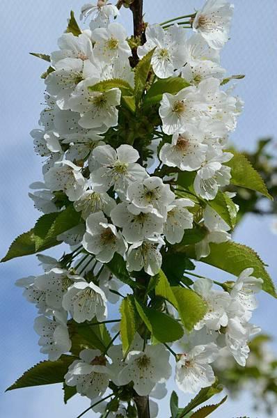 Sorell fruit farm(kordia blossom