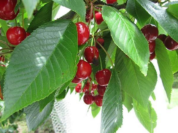 Sorell fruit farm(cherry5