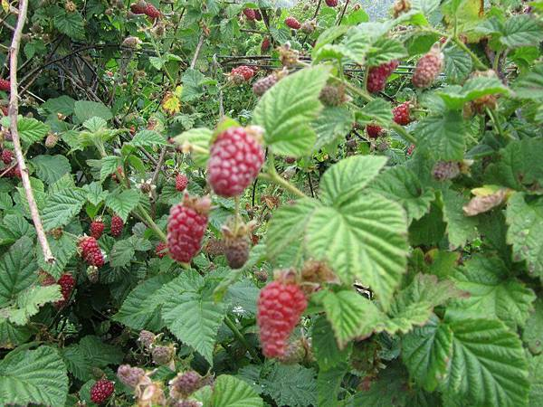 Sorell fruit farm(tayberries