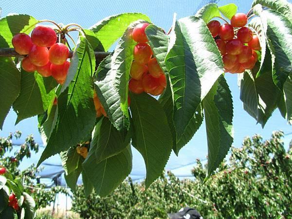 Sorell fruit farm(cherry4