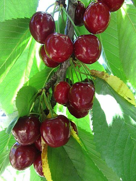 Sorell fruit farm(cherry3
