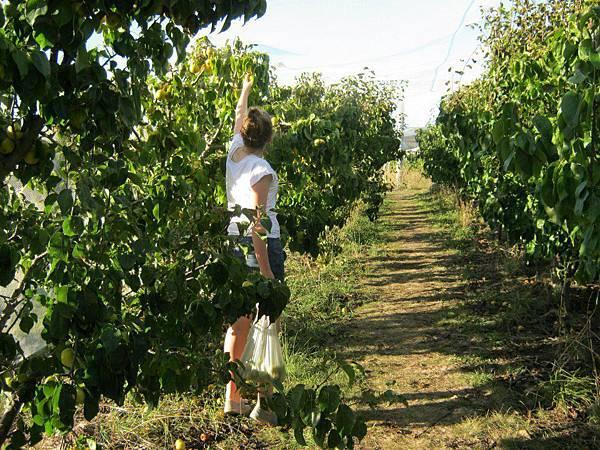Sorell fruit farm (Pears