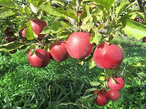Sorell fruit farm (May Apple4