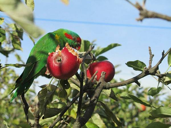 Sorell fruit farm (May Apple3