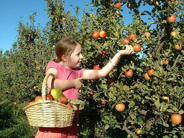Sorell fruit farm (May Apple2