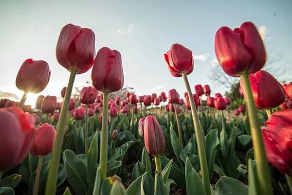 Bowral(Tulip Corbett Gardens10