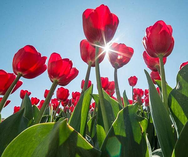 Bowral(Tulip Corbett Gardens6