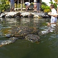 SAMOA SAVALI(SWIM WITH TURTLES2