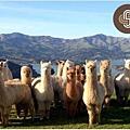 Shamarra Alpacas Farm(Akaroa2.jpg