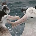 Albatross(KAIKOURA (3).jpg