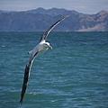 Albatross(KAIKOURA (4).jpg