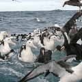 Albatross(KAIKOURA (6).jpg