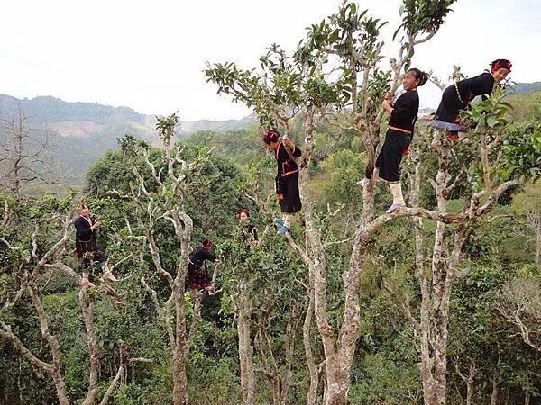 laos ethnic groups(400 years old tea plantation.jpg