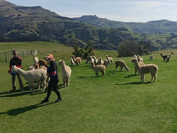 SHAMARRA ALPACAS FARM (36).jpg