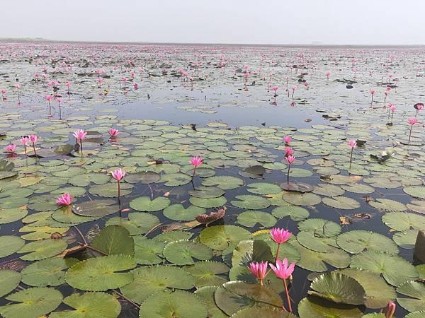 flower (lotus (1).jpg