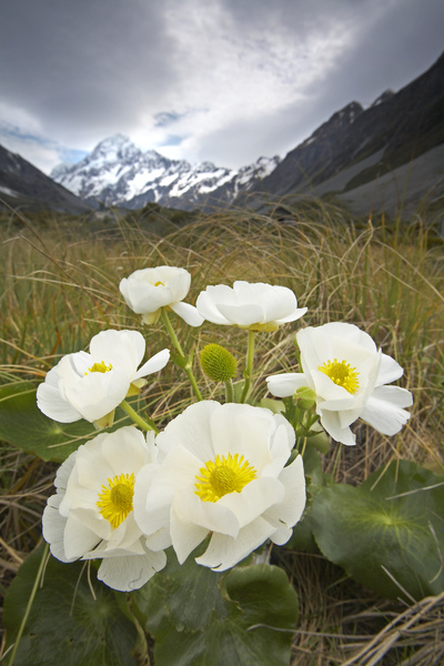 Mt Cook Lillies 14.jpg
