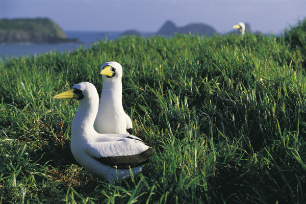 Boobie Birds, Mutton Bird Point, Lord Howe Island (Photo credit Don Fuchs).jpg