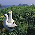 Boobie Birds, Mutton Bird Point, Lord Howe Island (Photo credit Don Fuchs).jpg
