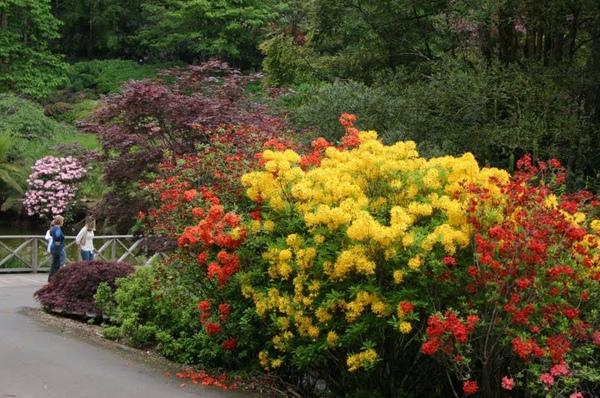 Rhododendron春2.JPG