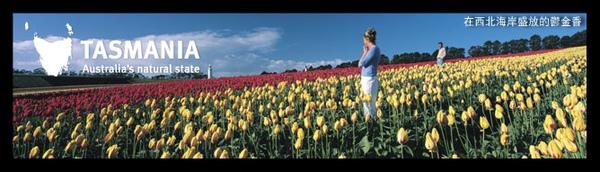 tulip2(tasmania).jpg
