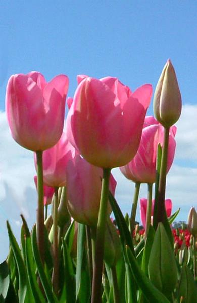 tulip(tasmania).jpg