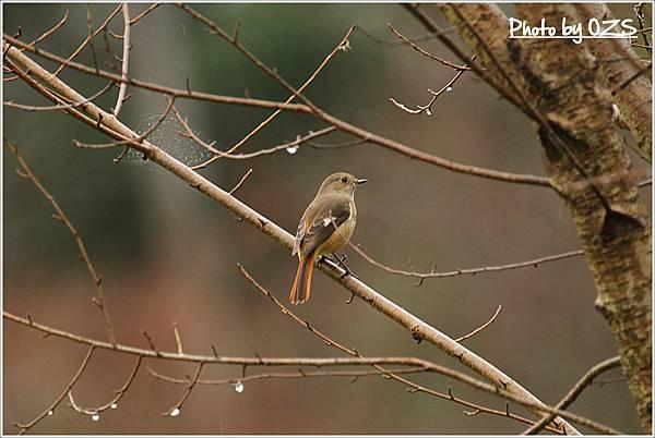 黃尾鴝母鳥