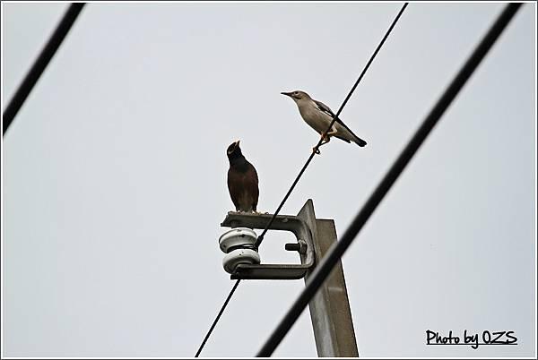 八哥和噪林鳥
