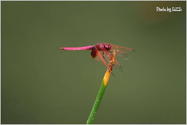 紫紅雄1028