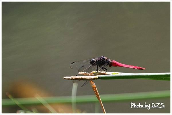 霜白蜻蜓雄蟲