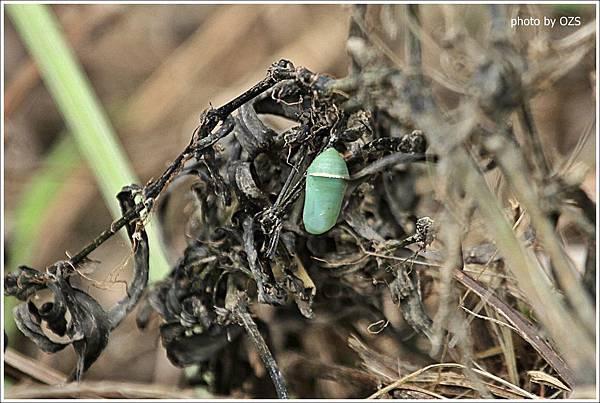 樺斑蝶之蛹